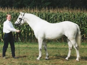 FN-Bundessiegerhengst Cloppenburg 1998